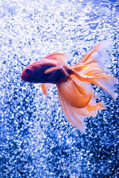 Poisson rouge sur fond de bulles d'air Photo Premium