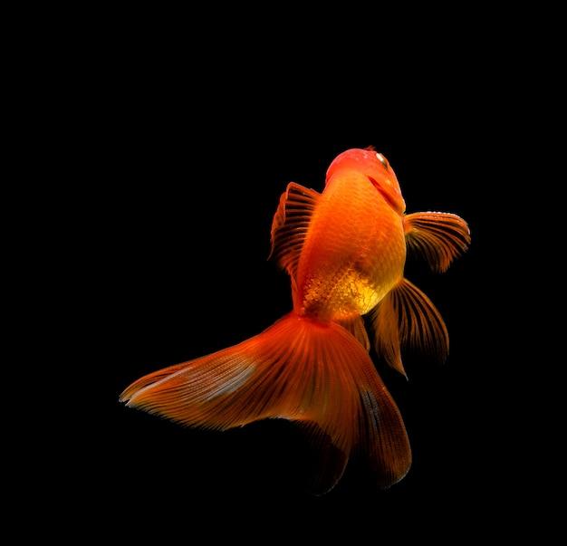Poisson rouge isolé sur un fond noir foncé Photo Premium