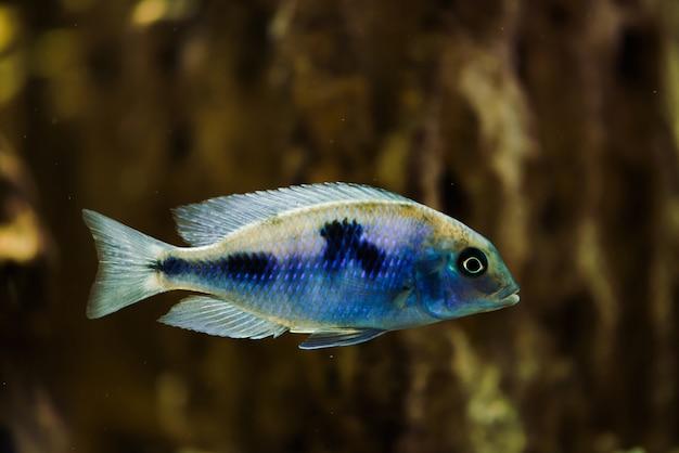 Poisson sciaenochromis fryeri de couleur bleue avec des taches noires flotte dans un aquarium Photo Premium