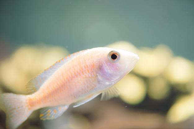 Poisson zèbre albinos flotte dans l'aquarium. metriaclima pyrsonotos, cichlidés, mbuna dans un aquarium. Photo Premium
