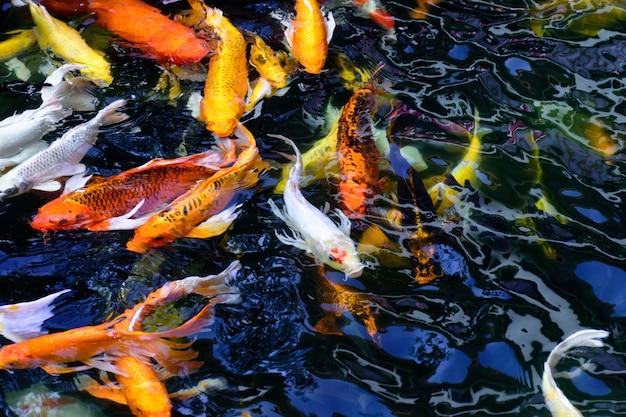 Les poissons colorés de carpe ou de koi nagent. koi poisson nageant dans l'étang. Photo Premium