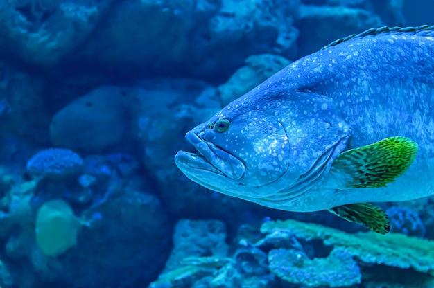 Des poissons colorés ou epinephelus lanceolatus dans la mer fond le corail, thaïlande. Photo Premium