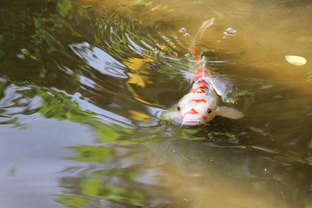 Des poissons fantastiques nageant et relaxant dans l'étang naturel Photo Premium
