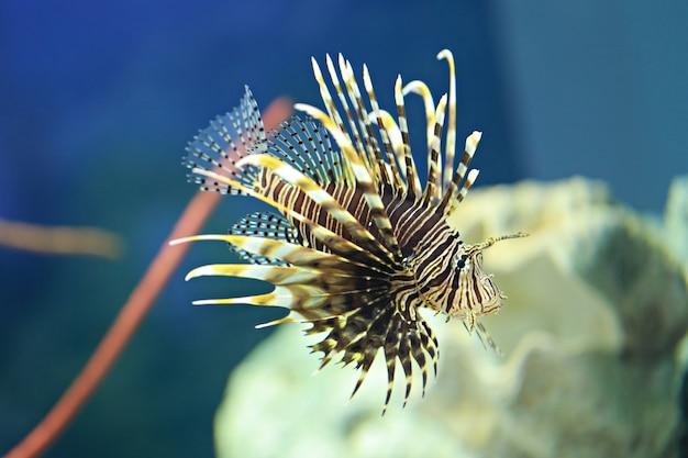 Les poissons lion nagent dans le récif de corail. Photo Premium