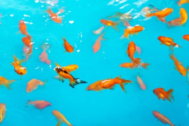 Poissons Tropicaux Colorés Dans Un étang Décoratif. Poisson Décoratif Orange Sur Fond Bleu. Troupeau De Poissons D'ornement Photo Premium