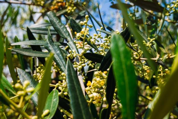 Le Pollen D'olivier Est Très Allergique Aux Personnes Souffrant De Problèmes Respiratoires Et D'allergies. Photo Premium