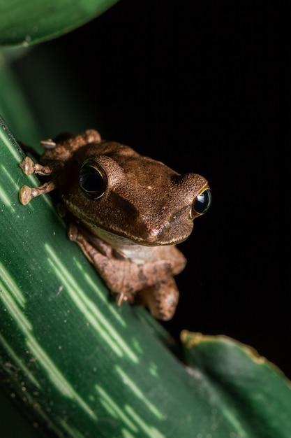 Polypedates leucomystax sur la feuille Photo Premium