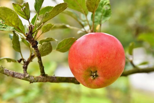 Pomme accrochée à un arbre Photo gratuit