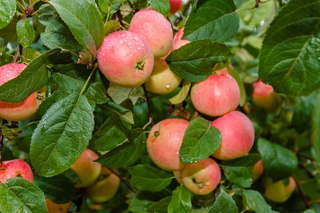 Pomme sur la branche dans le flou en arrière-plan. pommier. apple avec des gouttes de pluie. Photo Premium
