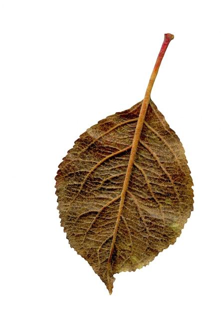 Pomme feuille d'automne isolé Photo Premium