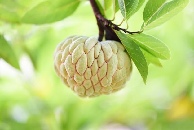 Pomme à sucre ou pomme à la crème sur un arbre dans le fond vert de jardin de fruits tropicaux nature. annona bonbons Photo Premium