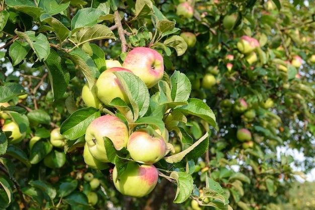 Pomme verte sur une branche contre le ciel bleu et le soleil Photo Premium