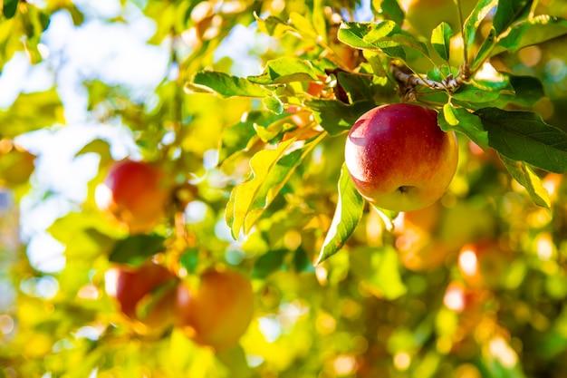 Les pommes poussent sur un arbre dans le jardin. mise au point sélective. Photo Premium