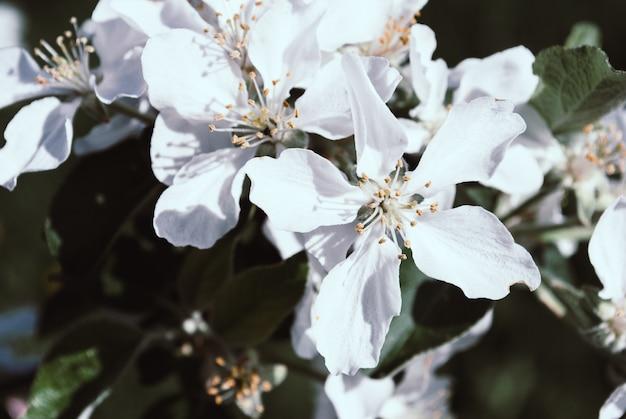 Pommier en fleurs; belles fleurs blanches, champ peu profond Photo Premium