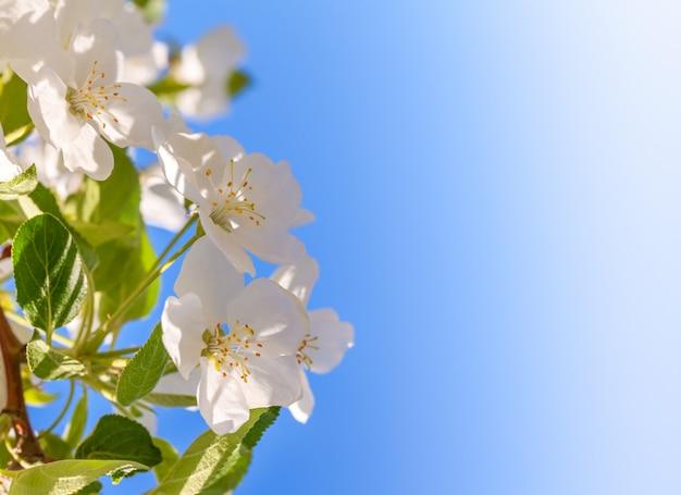 Pommier En Fleurs. Gros Plan De Fleurs De Printemps Blanc. Copiez L'espace. Photo Premium