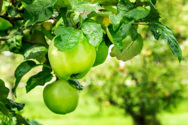 Pommiers dans le jardin en automne, royaume-uni Photo Premium
