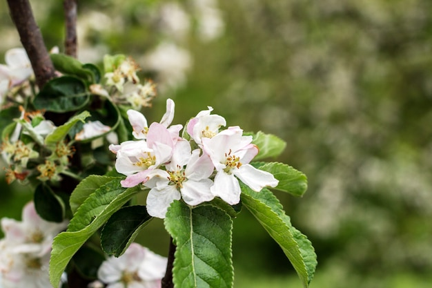 Pommiers en fleurs au parc du printemps se bouchent Photo Premium
