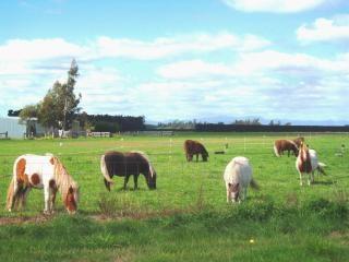 Poneys minuscules - ouest, près de melton Photo gratuit