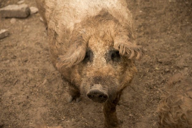 Porcs dans l'herbe d'une ferme Photo gratuit