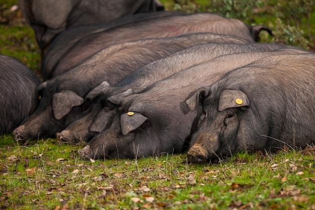 Porcs Ibériques Couchés Sur L'herbe Photo Premium