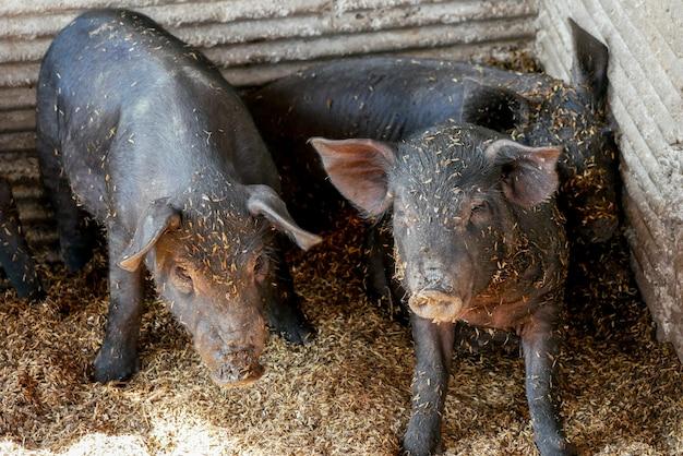 Porcs noirs à la ferme Photo Premium