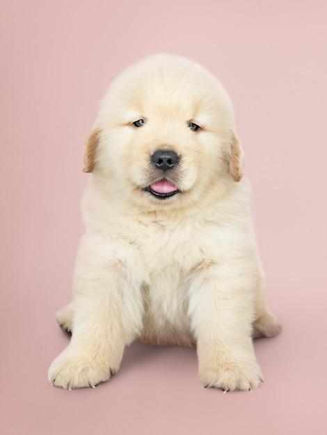Portrait d'un adorable chiot golden retriever Photo gratuit
