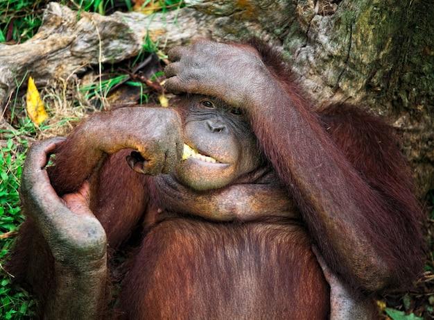 Portrait animalier orangutang dans le parc de malaisie Photo Premium