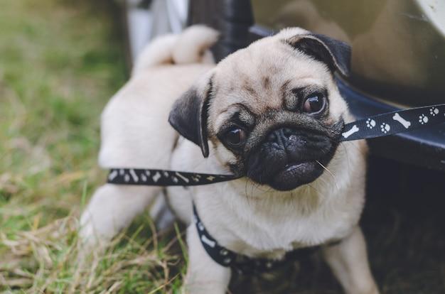 Portrait de beau visage masculin d'émotion de chien carlin heureux. Photo Premium