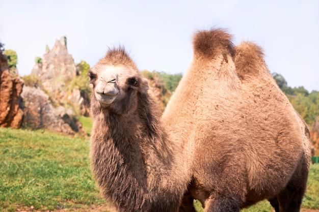 Portrait d'un chameau de bactriane dans un pré vert. Photo Premium
