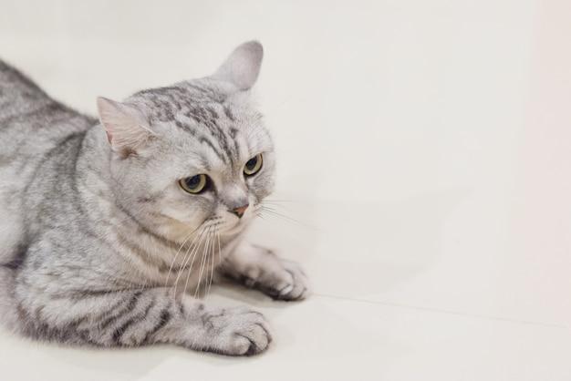 Portrait d'un chat écossais Photo Premium