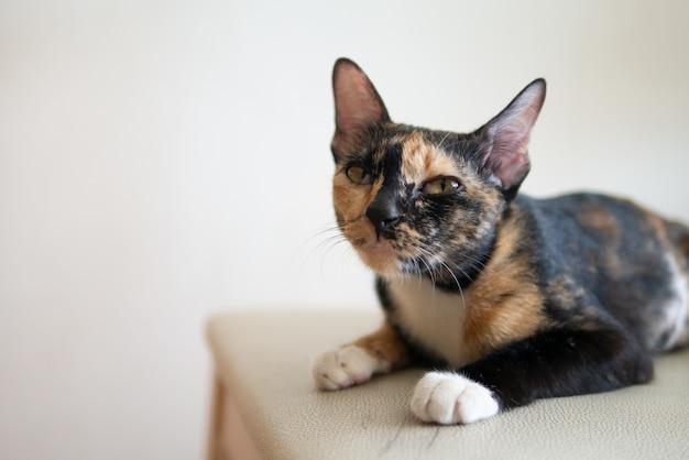 Portrait de chat tricolore ou calicot ou tortie et blanc ou écaille de tortue au visage grincheux Photo Premium
