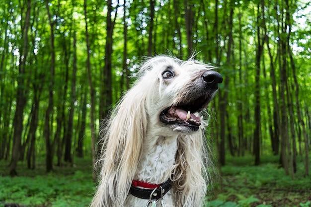 Portrait d'un chien afghan dans la forêt. Photo Premium