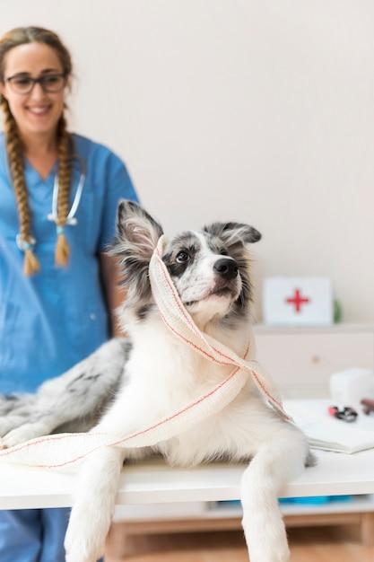 Portrait, chien, bandage, regarder loin Photo gratuit