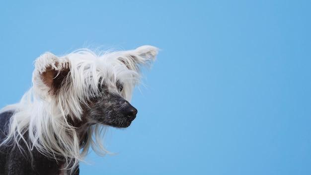 Portrait de chien à crête chinois avec fond bleu espace copie Photo gratuit