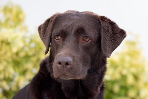Portrait d'un chien golden retriever noir Photo Premium