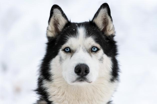 Portrait De Chien Husky, Fond Neigeux D'hiver. Drôle Animal Sur La Marche Avant La Formation De Chien De Traîneau. Photo Premium