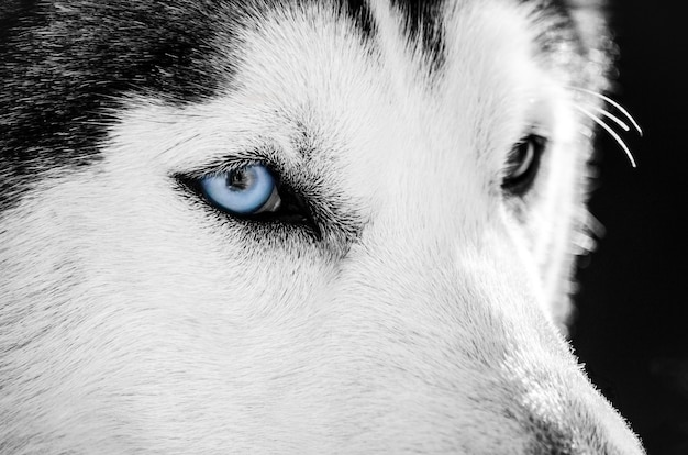 Un portrait de chien husky sibérien à l'oeil bleu ressemble à à droite. le chien husky a une robe noire et blanche. Photo Premium