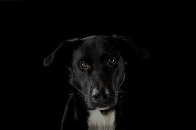 Portrait d'un chien noir regardant la caméra avec une expression grave et des yeux jaunes. isole contre le fond noir. Photo Premium