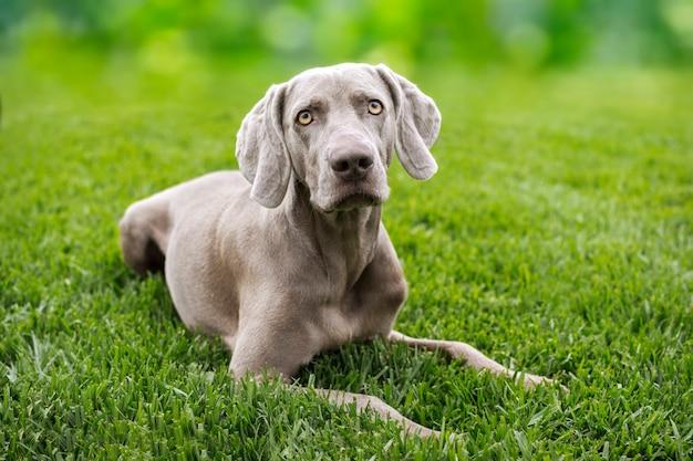 Portrait d'un chien de race braco de weimar, weimaraner. Photo Premium