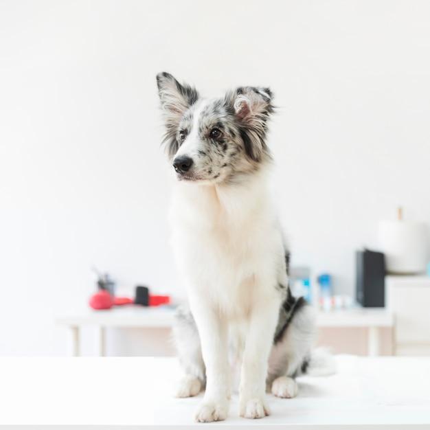 Portrait, chien, table, clinique Photo gratuit