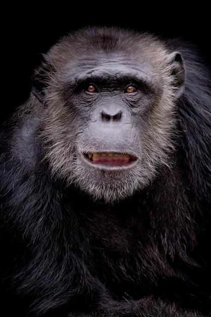 Portrait, chimpanzé, regarder, pensif, fond noir Photo Premium