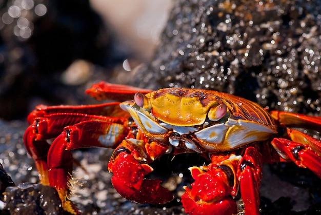 Portrait de crabe rouge, îles galapagos, équateur. Photo Premium