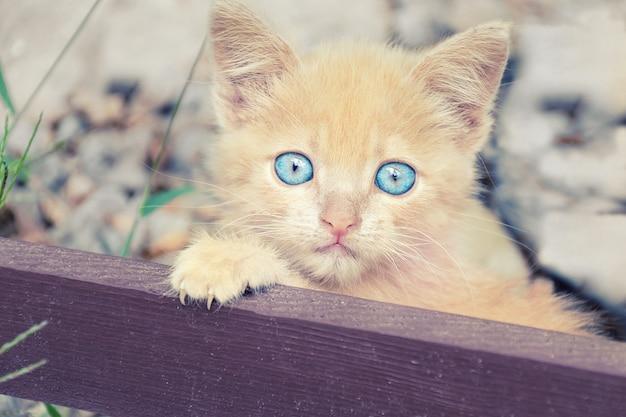 Portrait du petit chaton couleur pêche. Photo Premium