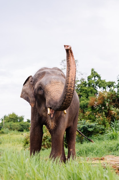 Portrait D'éléphant Asiatique Thaïlandais Beuatiful Se Dresse Sur L'éléphant Champ Vert Avec Des Défenses Coupées Taillées Photo gratuit