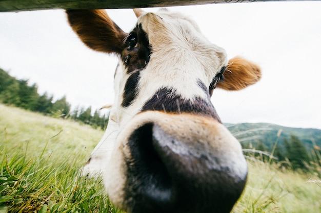 Portrait Grand Angle De Vache Pâturage Sur Le Champ De L'été. Photo Premium
