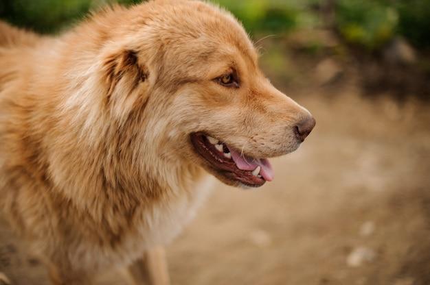 Portrait, heureux, brun clair, chien, debout, dehors Photo Premium