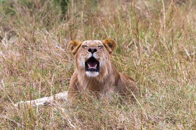 Portrait D'un Jeune Lion Au Repos Kenya Afrique Photo Premium
