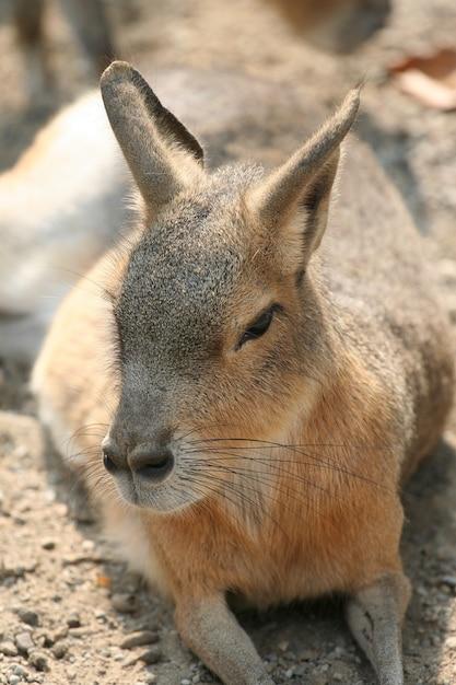 Portrait de kangourou Photo Premium