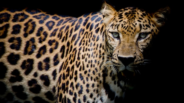 Portrait de léopard Photo Premium