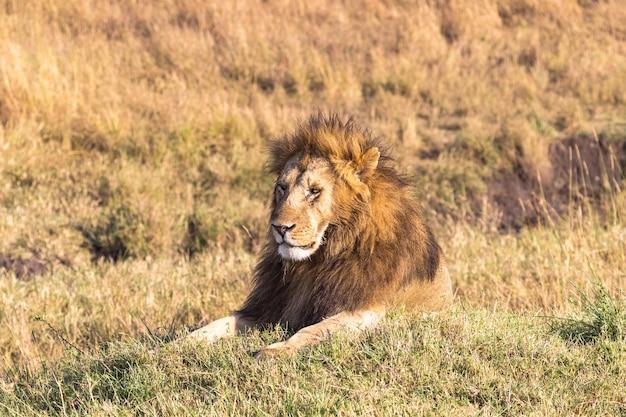 Portrait D'un Lion Couché Sur Une Colline Dans Le Parc Masai Mara Kenya Afrique Photo Premium